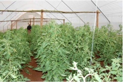 Eight-week old tomato plants in a tent