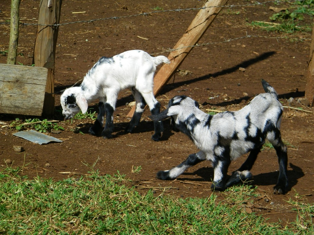 Baby goats frolicking near the fish ponds.