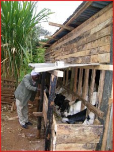 Goats being fed from the new goat shed